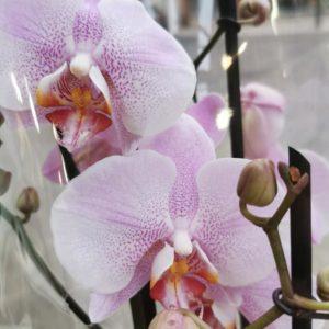 livraison orchidee rose